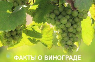 Факты о винограде